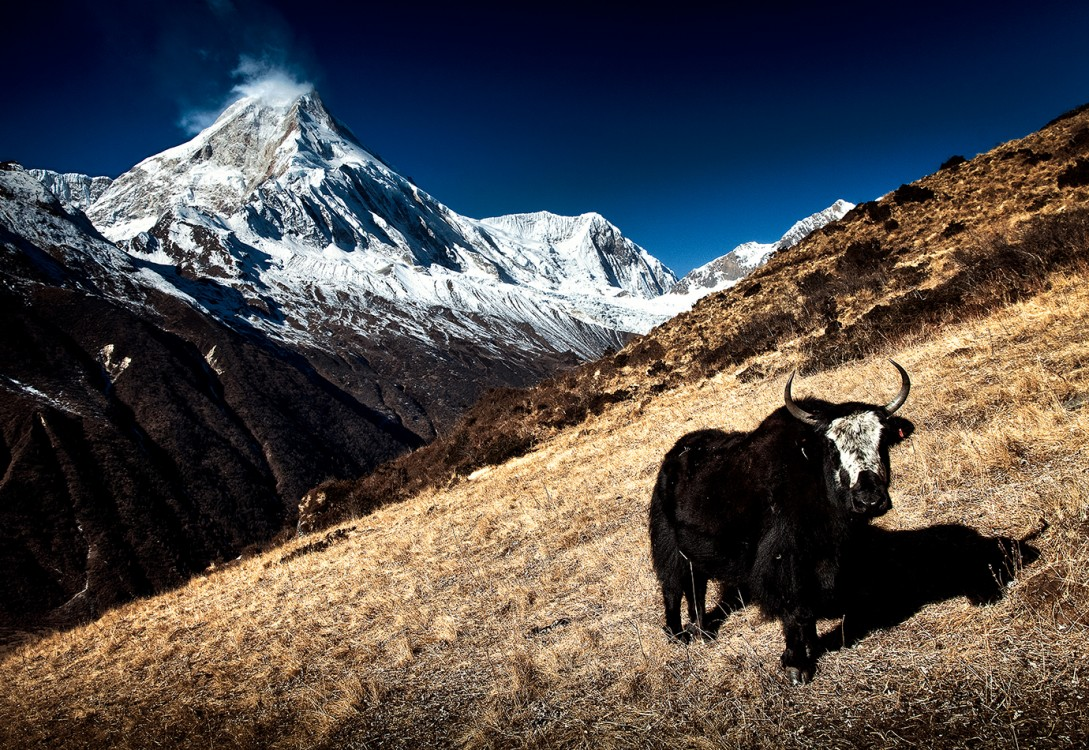 yak_and_manaslu5a_101 copy
